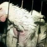 Michał Piróg protestuje przeciwko męczeniu zwierząt!