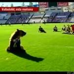 Żywa maskotka Realu Valladolid - NIEDŹWIEDŹ!