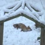 Lisy bawią się na śniegu - super!