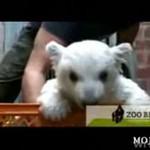 Knut z berlińskiego zoo