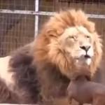 Jamnik CAŁUJE SIĘ z lwem!