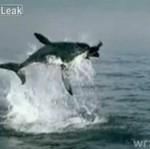 Rekin kontra foka
