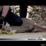Policjanci użyli paralizatora przeciwko jeleniowi
