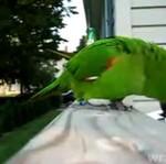 Szczekająca papuga!