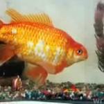 KILOGRAMOWA złota rybka!