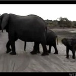 Słonik przestraszył się własnego kichnięcia!