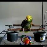 Papuga jak małe dziecko - SUPER!