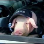 Oficer Świnia - ukryta kamera