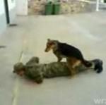 Pies poczuł miętę do żołnierza