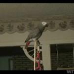 Show papugi - to dopiero rozrywka