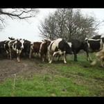 Krowy cieszą się wiosną - ŚWIETNE!