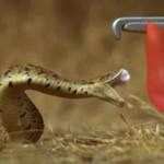 Tak atakuje wąż