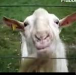 Koza-ryzykantka