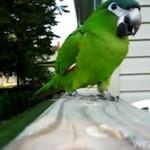 Papuga OBRONNA!
