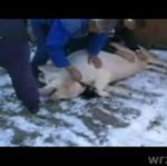 Tak zabija się świnie na wsiach