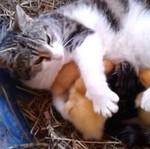 Kotka przygarnęła kaczuszki!