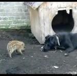 Prosiaczek ATAKUJE psa!