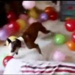 Preent urodzinowy dla psa