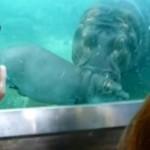 Hipopotam uczy swoje dziecko pływać