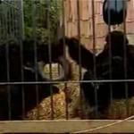 Zabawa goryli