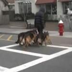 Jak iść na spacer z pięcioma psami?
