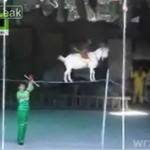 Małpa jedzie na kozie dwa metry nad ziemią!