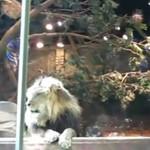 Lwica uratowała człowieka!