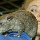 Kolekcjoner SŁODKOŚCI - wielkoszczur gambijski