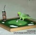 Papuga - golfistka!