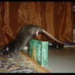 Parkourowy szczur - wow!