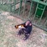 Szympans uzależniony od piwa