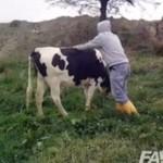 Rodeo na... krowie!