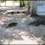 Kot BRONI rodziny przed aligatorem!