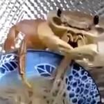 Krab wcina... MAKARON!