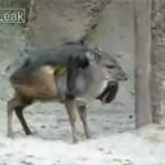 Małpa ujeżdża sarenkę - zobacz!