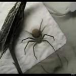Ten pająk przypomniał sobie o końcu wakacji