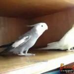 """Papużki śpiewają melodię z """"Kill Billa"""""""