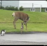 Jelonek GROMI kota i psa!