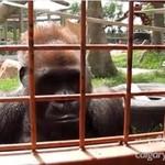 Małpy obserwują gąsiennicę
