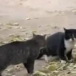 Walka kotów, którą wygrał... PIES!