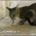 Kot walczy ze skorpionem
