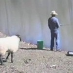Owca z poczuciem humoru