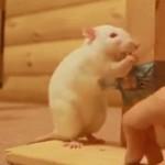 Szczurze sztuczki - WOW!