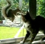 Wiewiórka drażni kota
