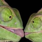Kolekcjoner SŁODKOŚCI - kameleony