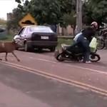 Wściekła koza terroryzuje miasto