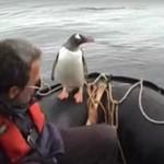 Pingwin ucieka przed wściekłymi orkami