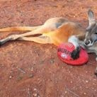 Kolekcjoner SŁODKOŚCI - najfajniejszy kangur świata!