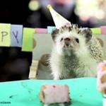 Małe przyjęcie urodzinowe dla małego jeżyka