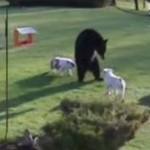 2 odważne buldogi PRZEGONIŁY niedźwiedzia!